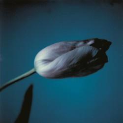 Geschlossene Tulpe