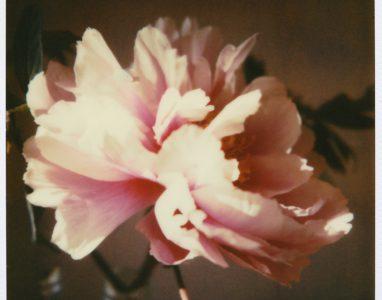 Blume Phoe 2011