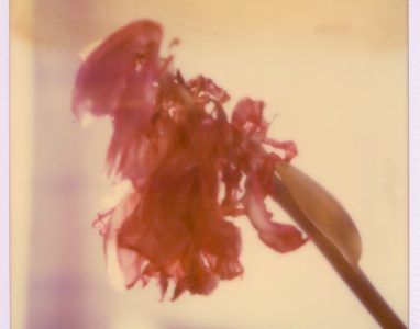 Verblühen (Tulpe ) 1989